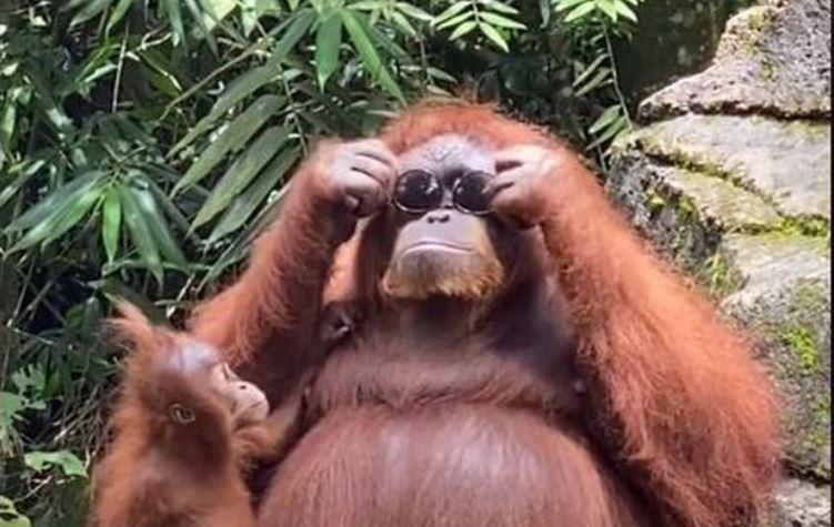 Indonésie. La vidéo d'une femme laissant tomber ses lunettes de soleil dans l'enclos d'un orang-outan devient virale sur TikTok