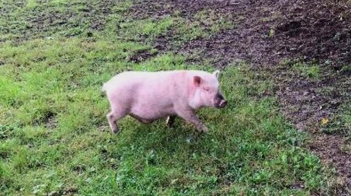 Essonne : un cochon perdu à Brétigny-sur-Orge, recueilli par la fondation Brigitte Bardot