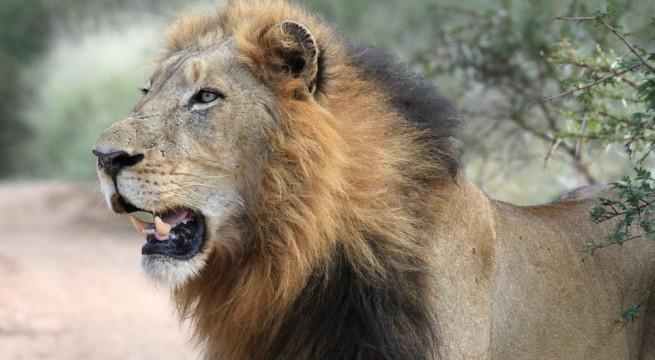 Photo d'illustration d'un Lion / CC0 Public Domain
