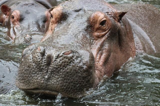 Illustration d'hippopotames / Pixabay