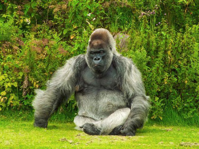 Illustration d'un gorille / Pixabay
