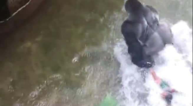 Le gorille Harambe trainant l'enfant de 4 ans au zoo de Cincinnati