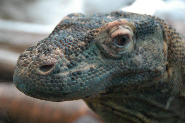 Illustration d'un dragon de komodo aussi appelé Varan / Pixabay