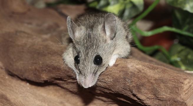 Illustration d'une souris / Pixabay