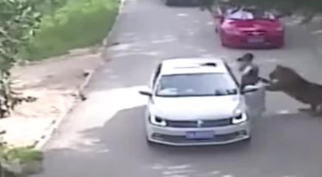 Une femme attaquée par un tigre dans un parc animalier en chine / Capture Youtube