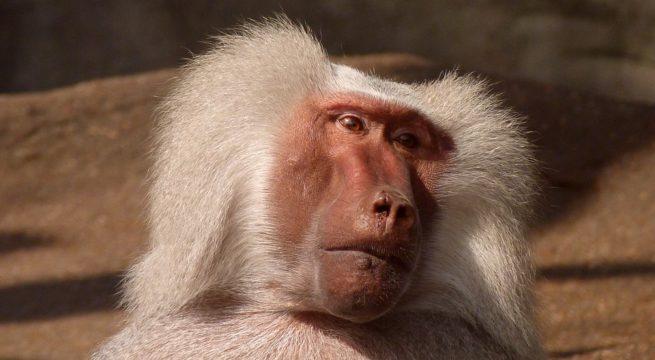 Illustration d'un babouin / Pixabay