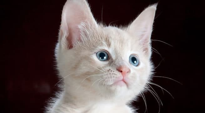 Illustration d'un chaton / Pixabay