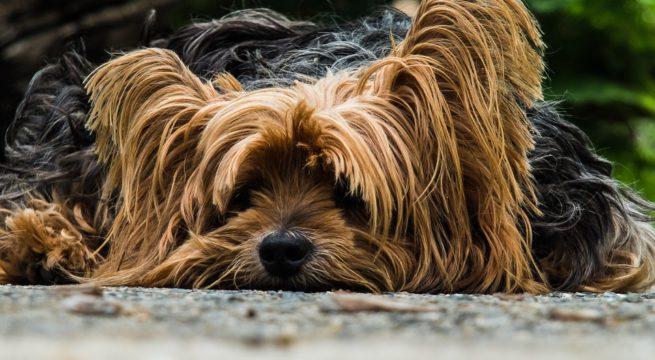 Un petit Yorkshire Terrier / Illustration Pixabay